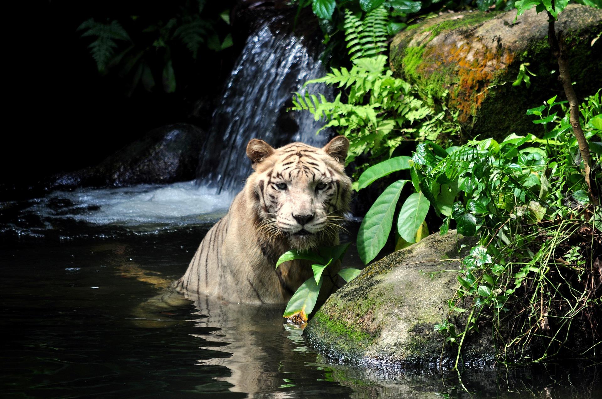 tiger-1203468_1920.jpg